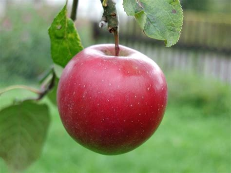 apple red apple barnstorming