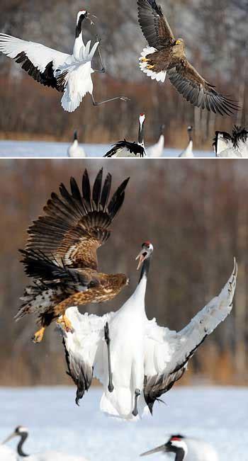 imagenes grullas japonesas la grulla un ave venerada en todo jap 243 n cultura japonesa