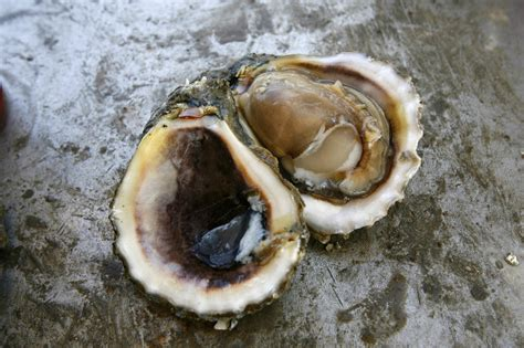 oyster shell oyster shell gemstone replaces agate as official louisiana