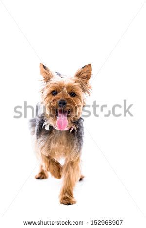 yorkie panting alert yorkie or terrier standing facing the with one paw