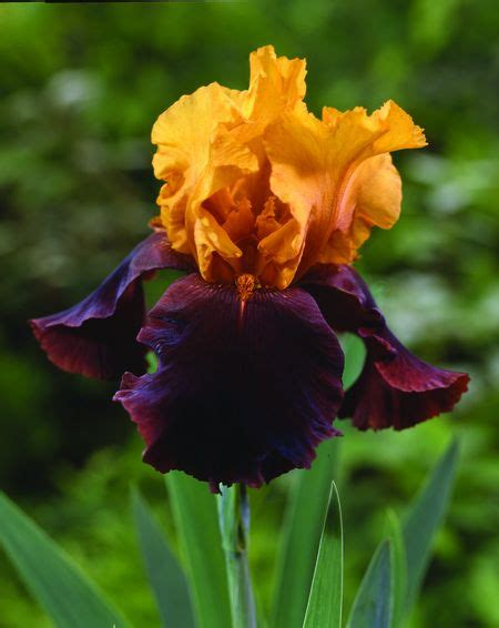 bearded iris garden coach photos