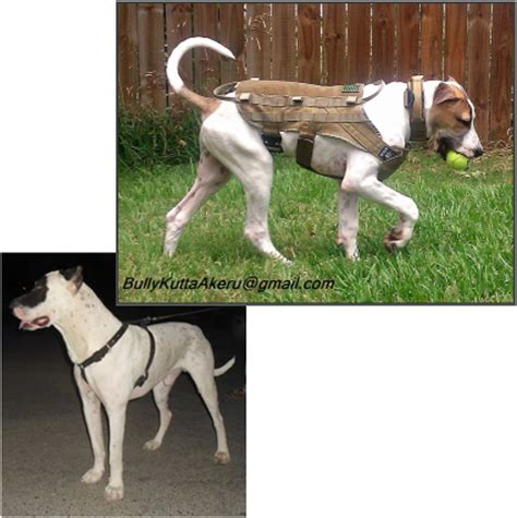 6 month puppy behavior tbi ambassador k 9 homepage the balrog institute home to the bully kuttas in