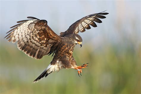 snail kites in action 8 birds in photography on the