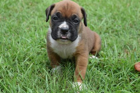 boxer puppies sc view ad boxer puppy for sale south carolina westminster usa
