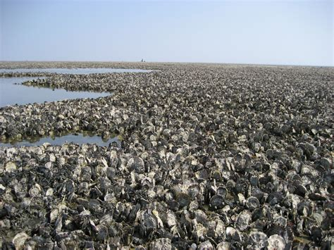 pacific oysters food addict trading group