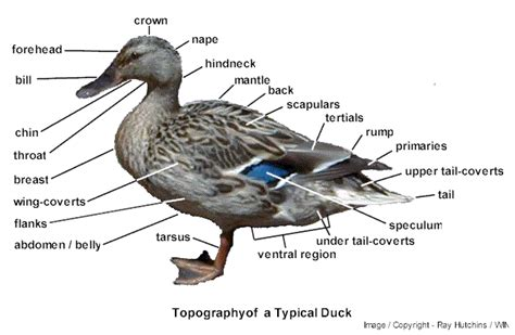 duck diagram physio ref 1 external appearance of a typical