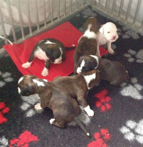boxer puppies available beautiful pedigree boxer puppies available wisbech cambridgeshire pets4homes