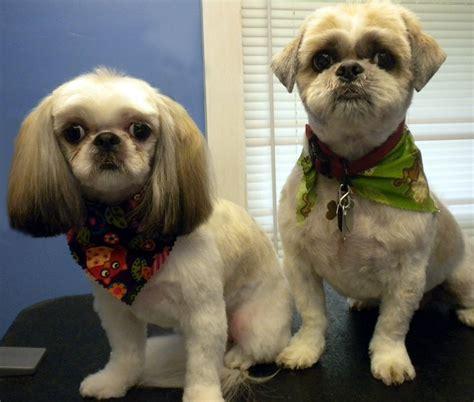shipoo must be shaved for mats will her beautiful fur grow back com 5 shih tzu health tips shih tzu daily