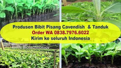 Cari Bibit Pisang Cavendish wa 0838 7976 6022 distributor bibit pisang cavendish