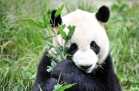 alimentazione panda cina la popolazione dei panda giganti in crescita wwf 232