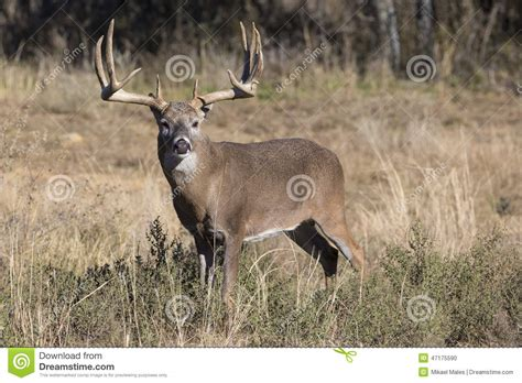 large buck wide and heavy rack whitetail buck stock photo