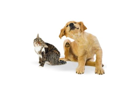puppy scratching flea meds for dogs are harmful or deadly to cats the wellbeing of all creatures