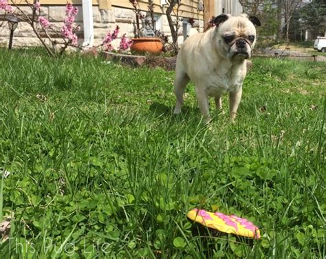 pug delivery pug gets a special delivery from the easter bunny