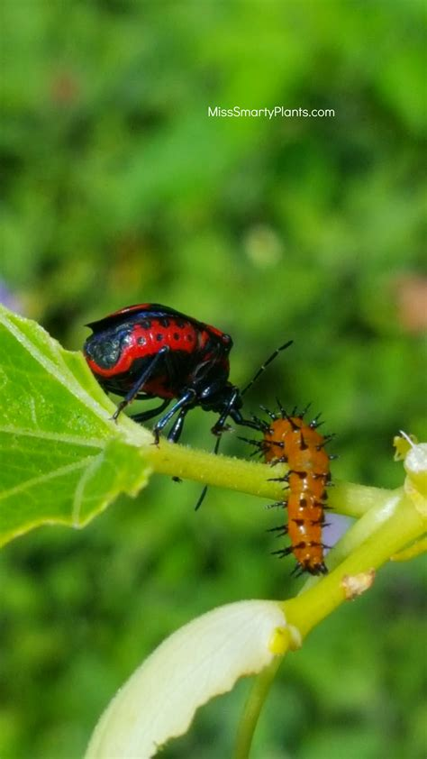 bugs three com assassin bugs miss smarty plants