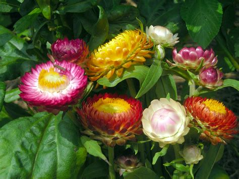 strawflower tall mix   southern exposure seed