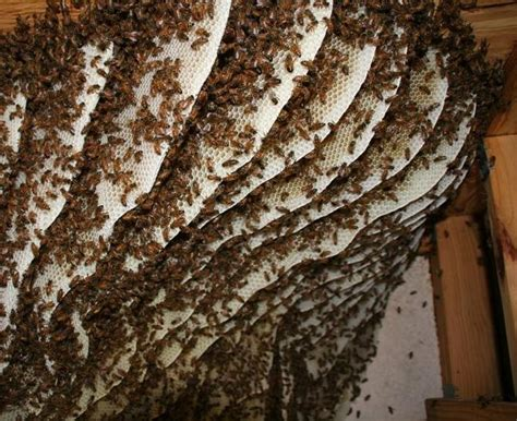 bees nest in siding of house bee nest on house images