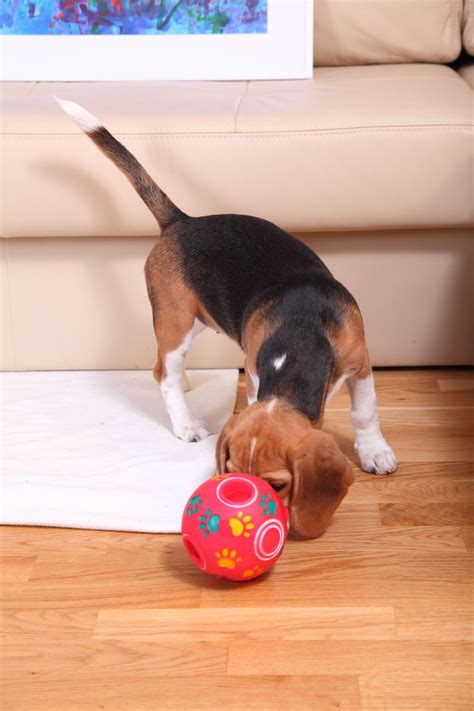 beagle in der wohnung beagle besch 228 ftigen tipps f 252 r die beagle besch 228 ftigung