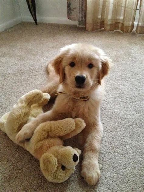 how to love your dog golden retrievers cute puppy and dog