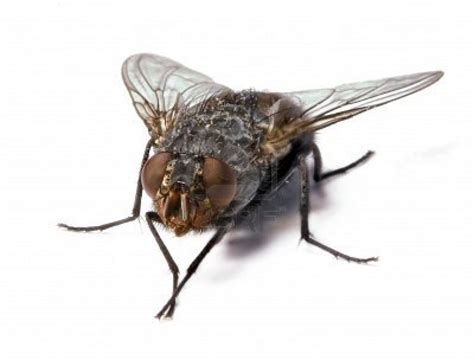 Fruit Fly Infestation A Fly On The Wall Of The Oval Office Pa Pundits