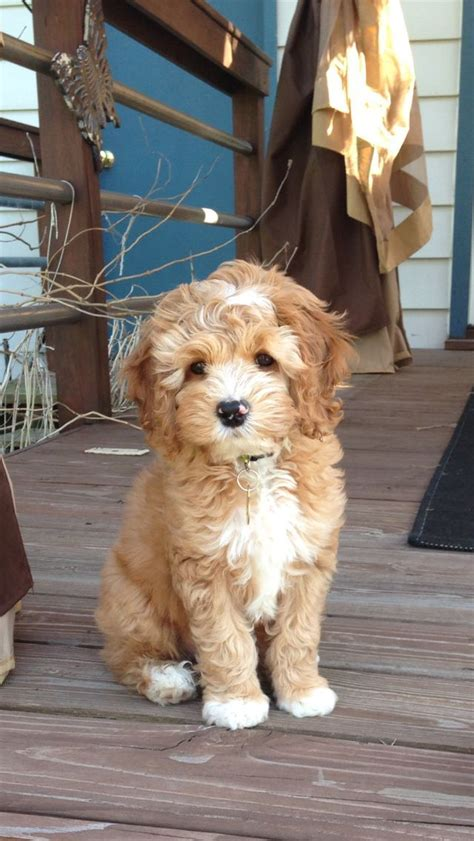 doodle puppy types 25 best ideas about goldendoodle on doodle