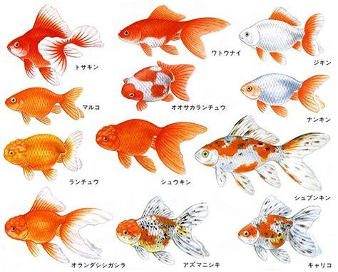 Betta Gold Size S 81306024003002 jpg 810 215 654 золотые рыбки