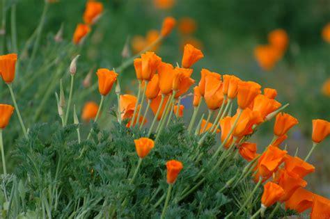 california poppy michaelhugo com 187 blog archive 187 california poppies