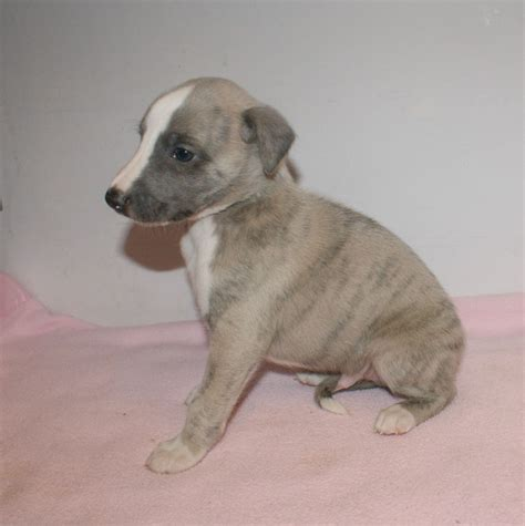 whippet puppies for sale whippet puppies for sale basingstoke hshire pets4homes