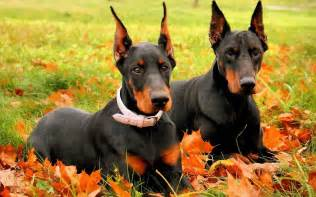 Other names for this breed doberman