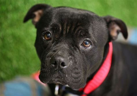 pug rescue queensland puggles medium pug x staffordshire bull terrier in qld petrescue