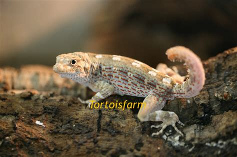 PRISTURUS CARTERI :: Tortoise farm