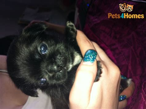 pug zu puppies for sale in uk pug zu puppies for sale darlington county durham pets4homes