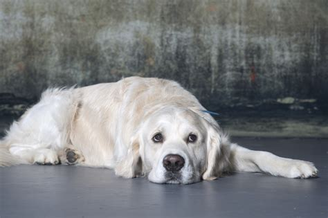 golden retriever age how 3 000 golden retrievers could help all dogs live longer chicago tribune