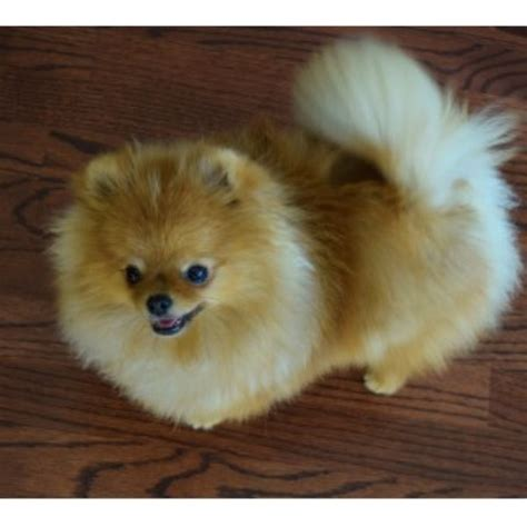pomeranian breeders in michigan pomeranian breeders in alberta freedoglistings