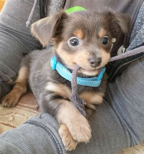 chihuahua and weiner mix 12 chihuahua cross breeds you to see to believe
