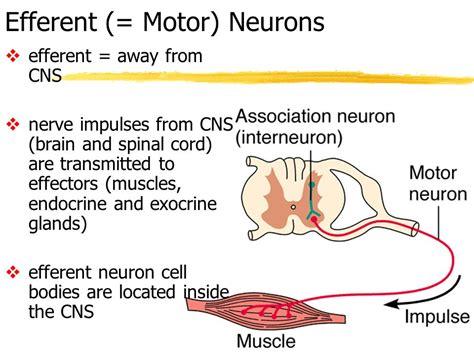 motor efferent chapter 11 fundamentals of the nervous system and nervous