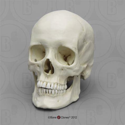 human female european skull bone clones