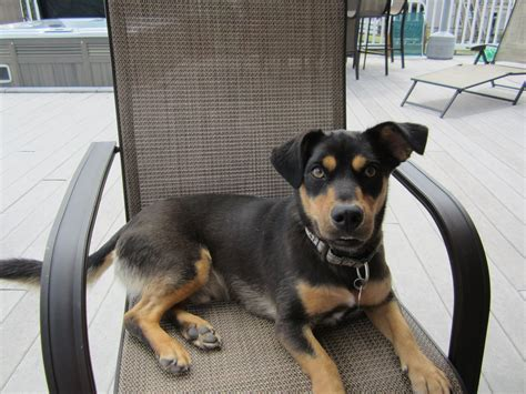 rottweiler and chihuahua mix mixes compilation part 4