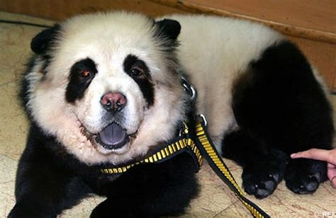 panda puppy panda dogs and tiger dogs are popular in china 10 pics