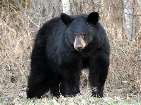 black bear black bear some facts with new photographs the wildlife