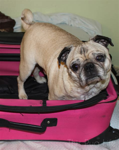 pug suitcase pug packs his bags this pug