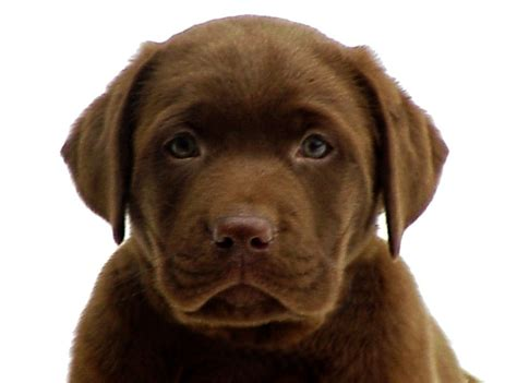 chocolate lab rescue puppies black labrador retrievers rescue new myideasbedroom