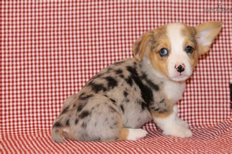 corgi puppies dallas corgi cardigan pembroke puppies for sale corgi breeds picture