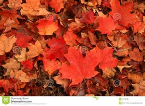 blazing red maple leaves paint ground cool