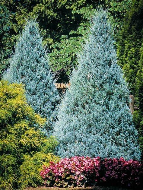 blue trees for sale juniper trees