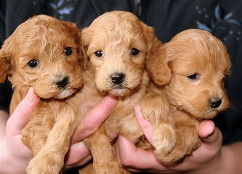 how much do cost for puppies how much do pets really cost the answer may you