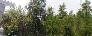 Minyak Kayu Putih Per Dus foto spesies pohon minyak kayu putih bunga merah oleh