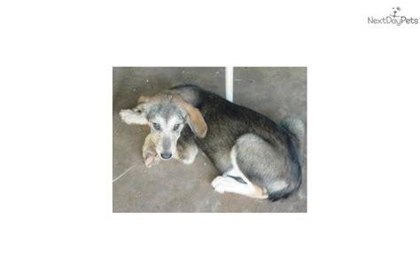 golden retriever cross husky puppies for sale adopt a golden retriever puppy for golden retriever siberian husky cross