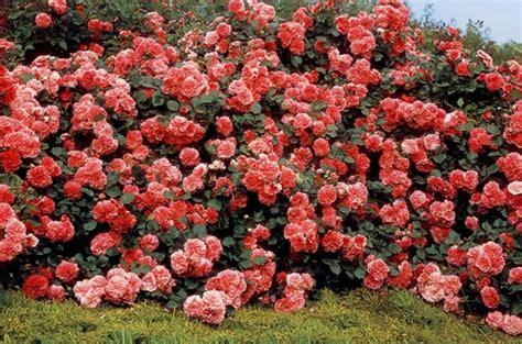 imagenes de jardines con rosales los rosales modernos
