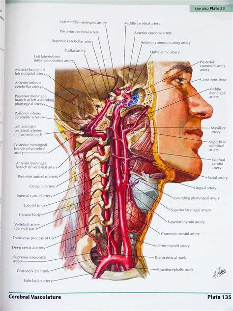 Atlas Of Human Anatomy Frank H Netter 6th Edition human anatomy diagram atlas of human anatomy all relevant atlas of human anatomy cerebral