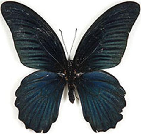 farfalla nera in casa significato la farfalla nera briciolanellatte weblog